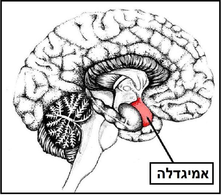 האמיגדלה מוח